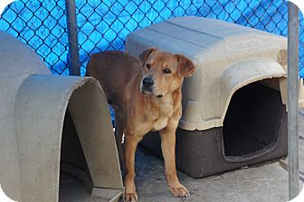 Labrador Retriever Mix Dog for adoption in Henderson, North Carolina - Belle