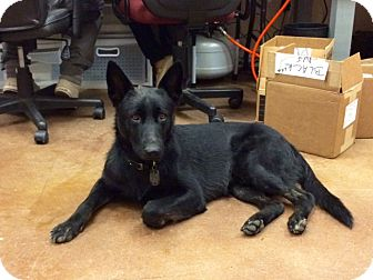 German Shepherd Dog Dog for adoption in Fort Worth, Texas - Ryder