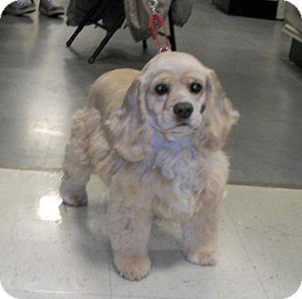 Cocker Spaniel Dog for adoption in Winder, Georgia - Prissy