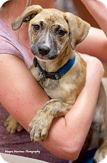 Catahoula Leopard Dog/Black Mouth Cur Mix Puppy for adoption in Hagerstown, Maryland - Duke