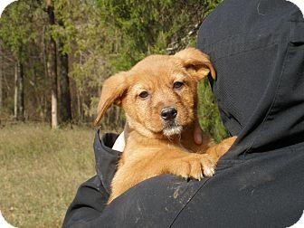 Giant Schnauzer/Briard Mix Puppy for adoption in Minnetonka, Minnesota - Julia