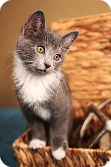 Domestic Shorthair Kitten for adoption in Plymouth, Minnesota - Ross