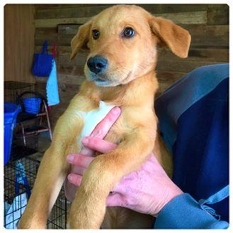 Golden Retriever Mix Puppy for adoption in Powder Springs, Georgia - Landen