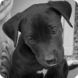 Boxer/Labrador Retriever Mix Puppy for adoption in Plano, Texas - Lucy
