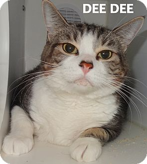 American Shorthair Cat for adoption in Lapeer, Michigan - Dee Dee