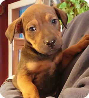 Labrador Retriever Mix Puppy for adoption in Laingsburg, Michigan - Shawnee
