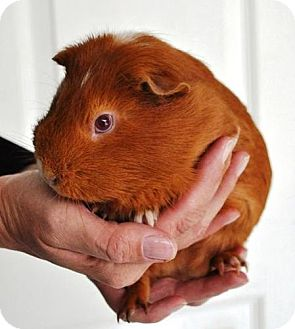 Guinea Pig for adoption in Erwin, Tennessee - Spot