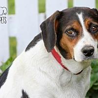 Beagle Dog for adoption in Troy, Illinois - Brenda Fostered (Matt H)