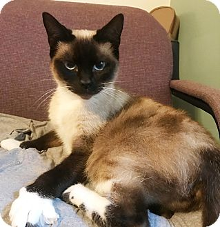 Snowshoe Cat for adoption in New Braunfels, Texas - Mrs. Bubbles