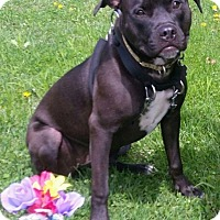 Terrier (Unknown Type, Medium) Mix Puppy for adoption in Detroit, Michigan - Hillary