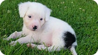 Australian Shepherd/American Bulldog Mix Puppy for adoption in Mechanicsburg, Pennsylvania - Nat