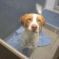Adopt A Pet :: CJ - Fort Dodge, IA