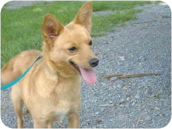 Chihuahua/Finnish Spitz Mix Dog for adoption in Somerset, Kentucky - Foxy