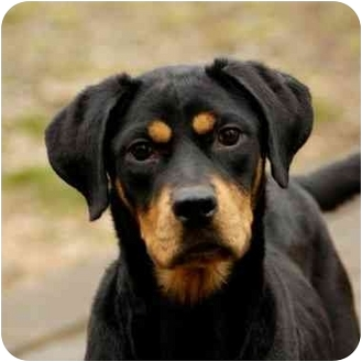 Rottweiler/Hound (Unknown Type) Mix Dog for adoption in Long Beach, New York - marge