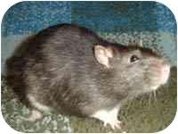 Rat for adoption in Winner, South Dakota - Art