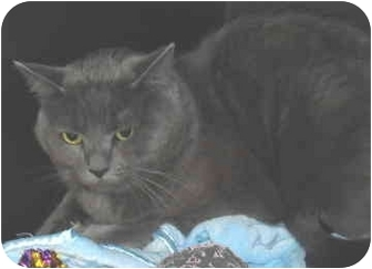 Domestic Shorthair Cat for adoption in North Highlands, California - Russia