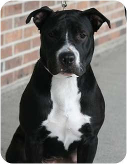 American Pit Bull Terrier Mix Dog for adoption in Rochester, New York - Pepper