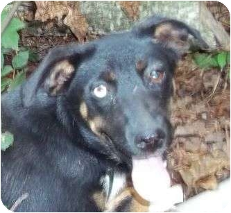 Shepherd (Unknown Type)/Catahoula Leopard Dog Mix Puppy for adoption in P, Maine - Shellie