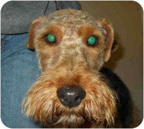 Welsh Terrier Dog for adoption in San Clemente, California - ROWDY