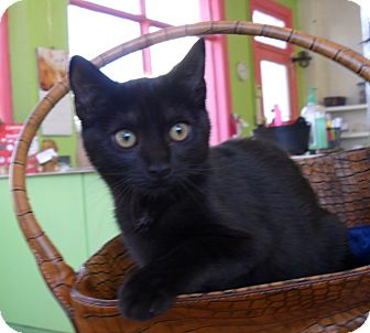 Domestic Shorthair Cat for adoption in Pulaski, Tennessee - Peeper