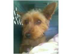 Yorkie, Yorkshire Terrier Puppy for adoption in Provo, Utah - MIZU