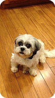 Shih Tzu Dog for adoption in Seattle, Washington - Allie