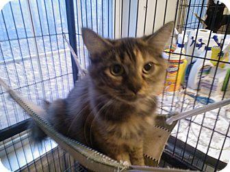 Domestic Mediumhair Cat for adoption in East Stroudsburg, Pennsylvania - Virginia II