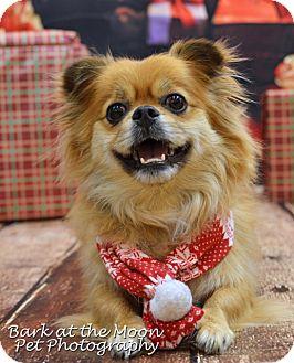 Tibetan Spaniel/Pekingese Mix Dog for adoption in Worcester, Massachusetts - Wookie