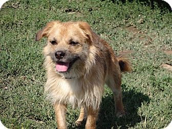 Terrier (Unknown Type, Small) Mix Dog for adoption in Littleton, Colorado - CHIGGER