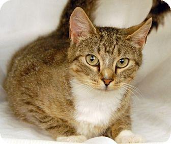 Domestic Shorthair Cat for adoption in Newland, North Carolina - Timpini
