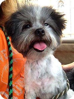 Shih Tzu/Maltese Mix Dog for adoption in North Olmsted, Ohio - Spencer