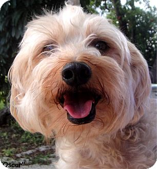 Silky Terrier/Terrier (Unknown Type, Small) Mix Dog for adoption in Key Largo, Florida - Oscar