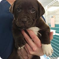Adopt A Pet :: Iggy Azalea: Java Pup - Cumming, GA