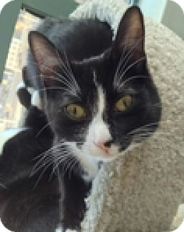 Domestic Shorthair Cat for adoption in Vancouver, British Columbia - Clawdia