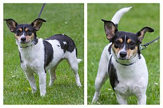 Rat Terrier Mix Dog for adoption in Newtown, Connecticut - Elsie
