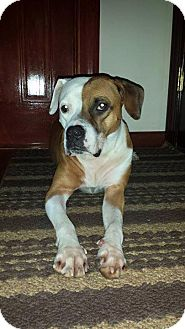 Boxer/American Pit Bull Terrier Mix Dog for adoption in Oxford, Connecticut - Penny