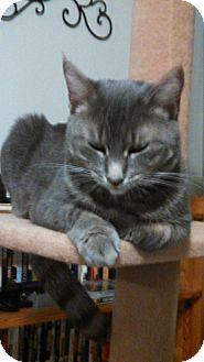 Domestic Shorthair Cat for adoption in Brooklyn, New York - Gracie