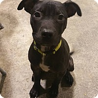 Adopt A Pet :: Drako - Lima, OH
