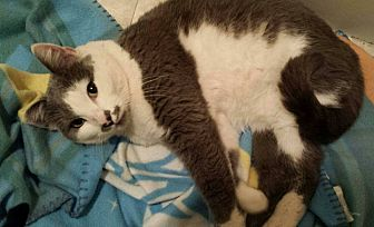 Domestic Shorthair Cat for adoption in San Fernando Valley, California - Sophie
