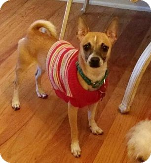 Chihuahua Mix Dog for adoption in Mentor, Ohio - BLACKJACK**10 LBS & 1-2 YRS OLD!!