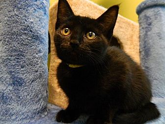 Domestic Shorthair Cat for adoption in The Colony, Texas - B.P.