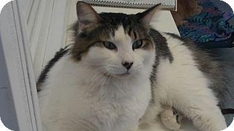 Domestic Longhair Cat for adoption in El Cajon, California - Paco