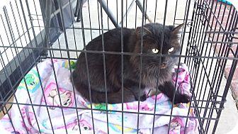 Domestic Mediumhair Cat for adoption in Carthage, North Carolina - Mamba