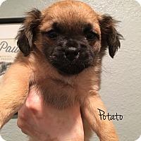 Adopt A Pet :: Potato - San Diego, CA