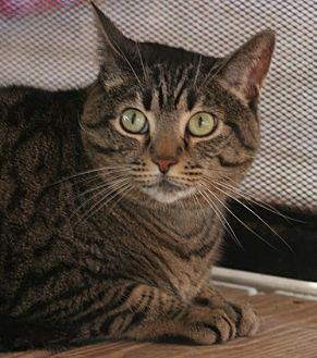 Domestic Shorthair Cat for adoption in North Fort Myers, Florida - Kali