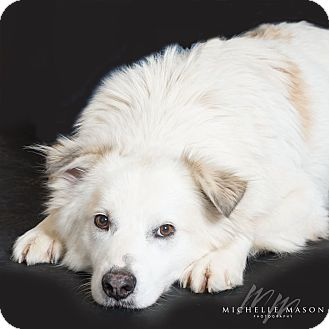 Great Pyrenees/Husky Mix Dog for adoption in Naperville, Illinois - Jake