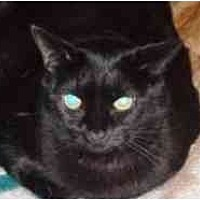 Domestic Shorthair Cat for adoption in Pasadena, California - Hespera