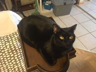 Domestic Shorthair Cat for adoption in West Palm Beach, Florida - Leo
