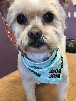 Pomeranian/Maltese Mix Dog for adoption in Lincolnwood, Illinois - Sweetie Pie