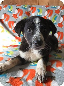 Australian Cattle Dog Mix Puppy for adoption in Maryville, Missouri - Peppermint Patty